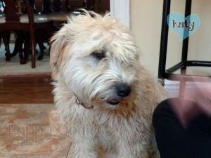 happy-oodles-adoption-katy-at-fosters-b-v1-fl