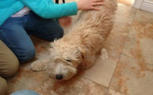 happy-oodles-adoption-katy-featured-fl