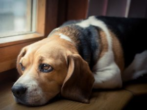Beagle looking sad