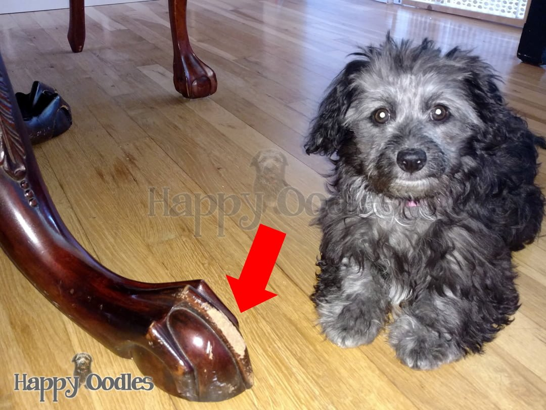 Black and white puppy next to chewed table leg in How to Stop Your Puppy's  Chewing
