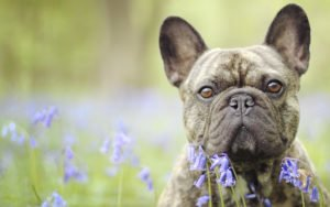 happy-oodles-french-bulldogs-featured-fl