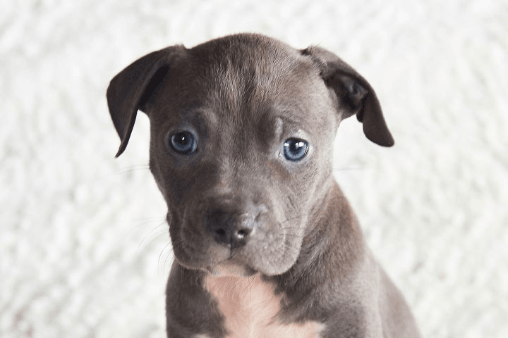 Adopt a Dog: Gray puppy available for adoption