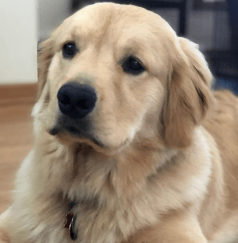 Adopting vs Buying a Dog: Which is Best?   Pic of Golden Retriever from Petfinder.com