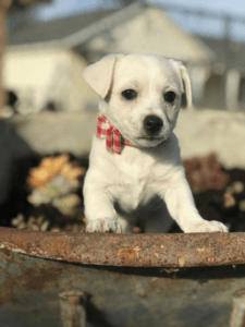 Adopting vs Buying a Dog: Which is best?   Pic of sute white puppy in a flower pot from Petfinder.com