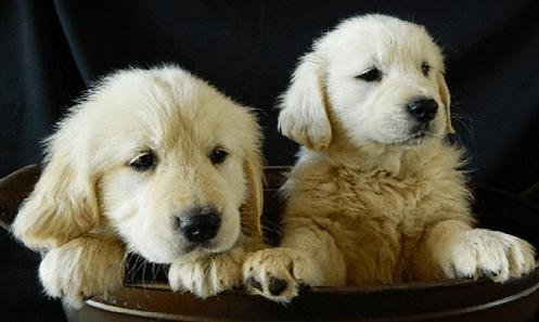 Adopting vs Buying a Dog: Which is Best?   Pic of Golden Retriever Puppies from AKC.com