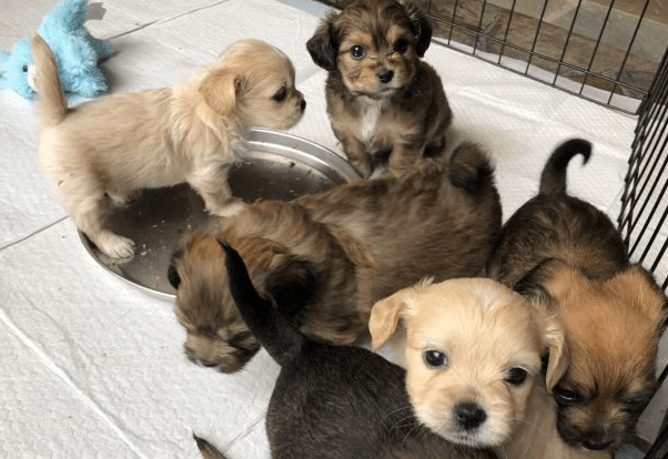 Taking your puppy form thier mother too soon. 5th mistake in Puppy Socialization mistakes. Picture of cream and brown very young puppies in pen.