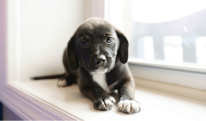 Small black and white puppy sitting on wide window sill alone.  Illustrates  Puppy socialization Mistakes