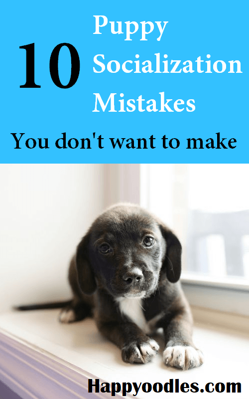 Picture of small black and white puppy sitting on window sill with the words 10 Puppy Socialization Mistakes - You don't want to make.