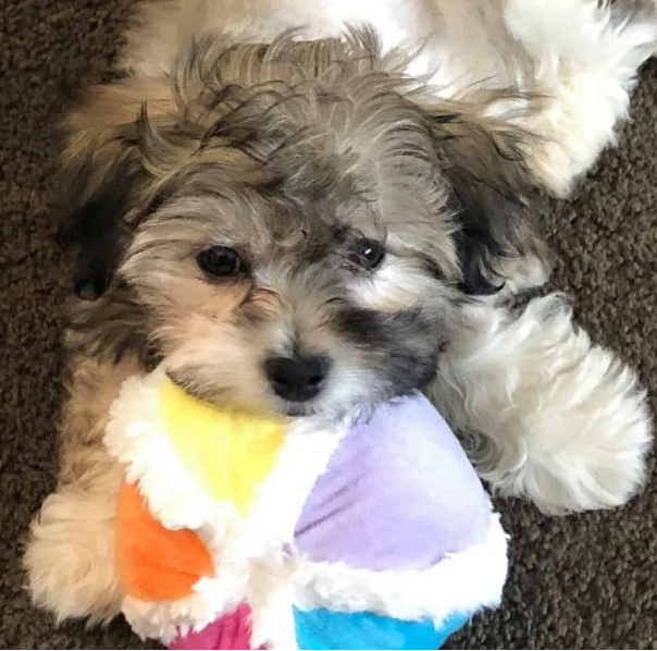 Black and white puppy with his head resting on a multicolored soft dog ball.