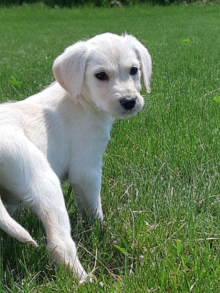 Bring your puppy to a dog park. 3rd mistake in Puppy Socialization Mistakes.  Picture of a white puppy standing in grass looking back.