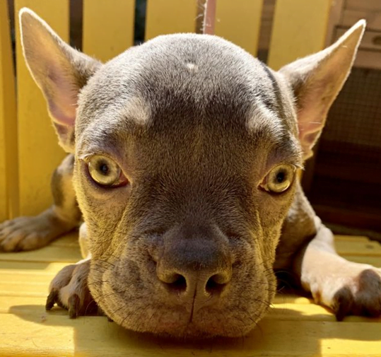 How much does it cost to adopt a dog?  French bull dog puppy