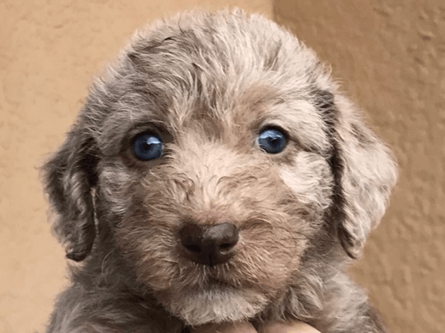 How Much Does It Cost to Adopt a Dog? - Face of a light brown puppy