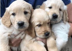 How to Pick a Puppy from a Litter -
