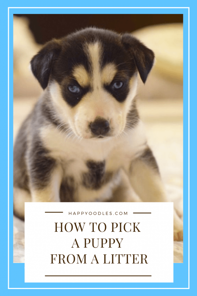 How to Pick a Puppy from a litter pin