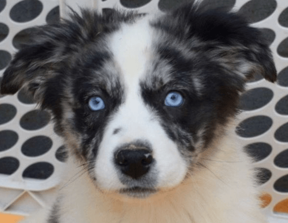 How to Crate Train a Puppy - 10 Mistakes to Avoid. puppy with blue eyes next to baby gates