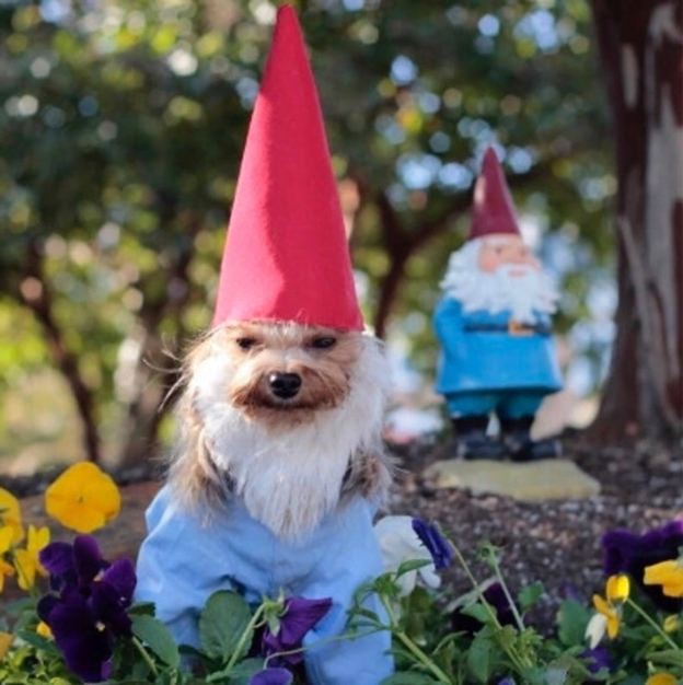 Dog dressed as gnome