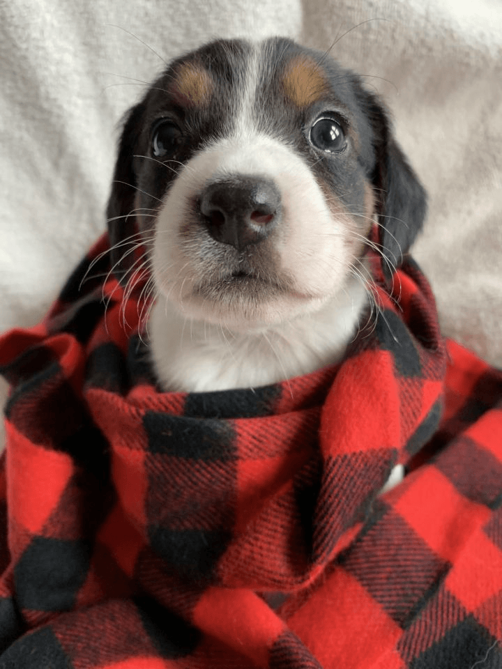 Does Your Dog Need a Sweater?  Puppy with red checked blanket