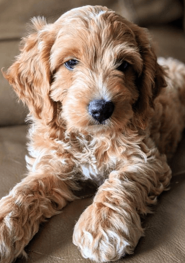 oodle dogs - Apricot and cream poodle mix